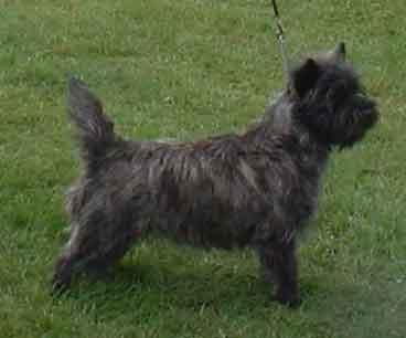 df76225cec1 Cairn Terrier Association Championship Show